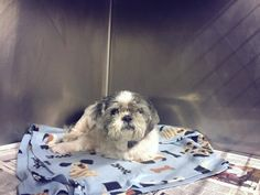 RESCUED BY St. Martin's Animal Rescue!!! 11 YEAR OLD MALE SHIH TZU NEEDS PLEDGES AND RESCUE! OWNER SAID BLIND & RENAL FAILURE. Max has been eating, drinking & defecating normally. He still has a distended belly The shelter does not know know if he has renal failure, or disease or some other condition He needs blood work to determine. So far, he has been doing well in their care. DOWNEY, CA https://www.facebook.com/photo.php?fbid=961012200645779&set=a.621812584565744&type=3&theater