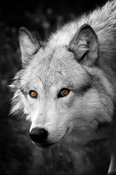 Grey Wolf Smile  by Steve McKinzie