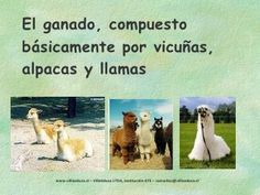 Los Diaguitas Alpacas, Like You, Serif, Projects