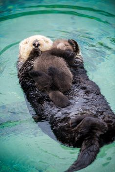 Monterey Bay Aquarium — Give mom some space! New research shows a sea...