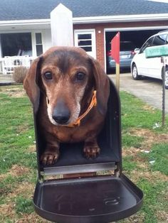 The Diverse Dachshund Breed - Champion Dogs Standard Dachshund, Dachshund Breed, Long Haired Dachshund, Dachshund Love, Daschund, Funny Dachshund, Best Apartment Dogs, Clever Dog, Miniature Dachshunds