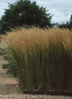 Calamagrostis Karl Foerster - ornamental grass