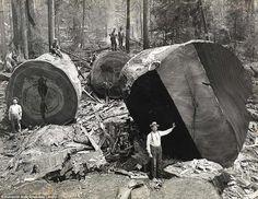Lumberjacks pose with felled California Redwood trees.
