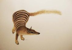 Numbat - Banded Anteater: Watercolour, Helen Ward.