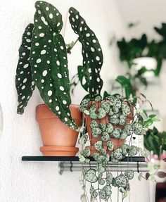 Plants have some serious range! Just look at these beauties – so much in common but they look so different 🍃 📷: welcome to the 🌿 READ The princess on her throne: thanks for sharing with the Inside Plants, Cool Plants, Green Plants, House Plants Decor, Plant Decor, Hanging Plants, Indoor Plants, Decoration Plante, Plants Are Friends