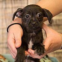 Brattleboro, Vermont - Rat Terrier. Meet Frank, a for adoption. https://www.adoptapet.com/pet/20668962-brattleboro-vermont-rat-terrier-mix
