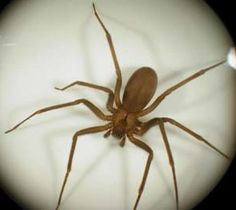 Brown Recluse Vs Wolf Spider Size Pest Control Service