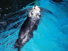Great shot of an otter at the Oregon Zoo.  Thanks to mouse4 for sharing it!