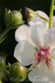 Verbascum Blattaria; Moth Mullien. モウズイカ 日本では帰化植物で 毛蘂花と書く。花色の多くは黄色だが、オレンジ、赤茶、紫、青、白などの色もある