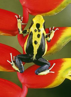 Yellow-back Poison Frog (Dendrobates tinctorius) - a morph of the Dyeing Poison Frog found in Surinam