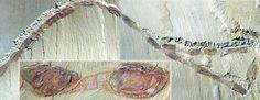 Arthropod Fossil