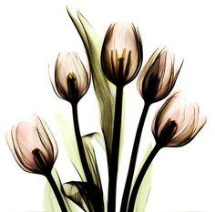 Crystal Flowers X-Ray, Tulip Bouquet Fine-Art Print by Albert Koetsier at UrbanLoftArt.com