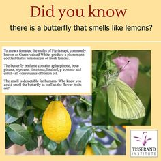 To attract females, the males of Pieris napi, commonly known as Green-veined White, produce a pheromone cocktail that is reminiscent of fresh lemons.  The butterfly perfume contains apha-pinene, beta-pinene, myrcene, limonene, linalool,