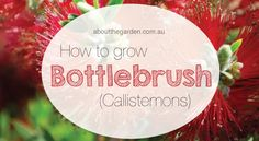 How to grow Callistemons (Bottlebrush) in Australia | About The Garden Magazine