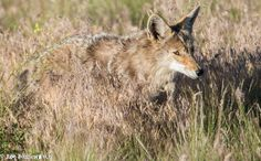 Coyote eating and regurgitating snake at Antelope Island State Park, utah
