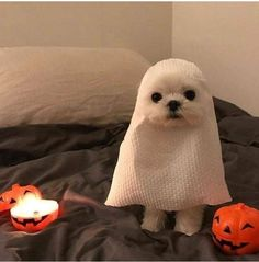 Ready for Halloween - Tiere.Ok, meist Katzen - Perros Funny Animal Photos, Funny Animal Memes, Cute Funny Animals, Dog Memes, Cute Baby Animals, Dog Pictures, Funny Dogs, Animals And Pets, Funny Memes