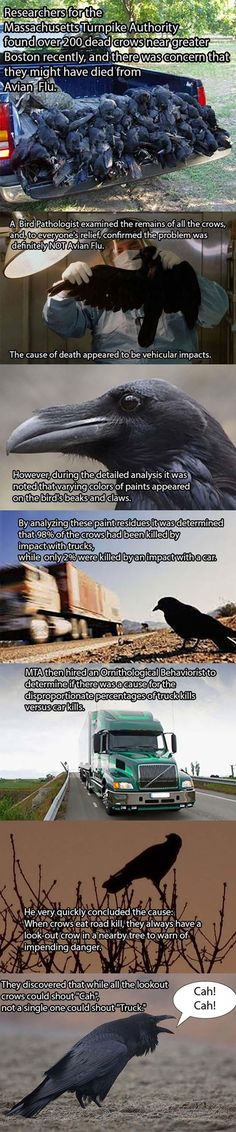 They Mystery Of Why Crows Are Showing Up Dead Has Been Solved - 6 Pics