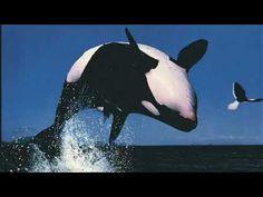 Killer Whales, Animals, Animales, Animaux, Animal, Animais