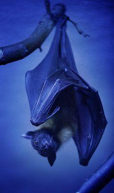 Bat by Volker Wurst - iPhotograph
