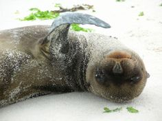 A squirming baby sea lion (less than 6 weeks old) on the beach of Espanola Island in the Galapagos. Ecuador, Baby Sea Lion, Baby Animals, Cute Animals, Wild Animals, Ocean Pictures, Baby Seal, Garden Animals, Underwater Creatures