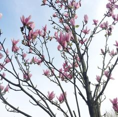 Magnolia is the prettiest of all the trees!