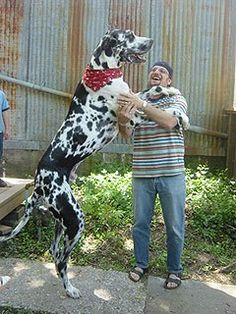 Great Dane - The Worlds Tallest Dog Love Your Pet, Dog Love, World's Tallest Dog, Dog Breeds Pictures, Great Dane Dogs, Dog Wallpaper, Mundo Animal, A Whole New World, Gentle Giant