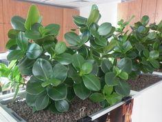 Https Poradnikogrodniczy Pl Kluzja Clusia Rosea Php Clusia Plants Home And Garden