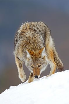 Picking up the scent - Coyote - To purchase prints, cards, pillows, shirts and…