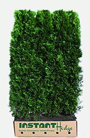 Western Red Cedar (Thuja plicata 'Virescens') makes a fast, upright, evergreen privacy hedge. Western red cedar is Deer resistant, low maintenance hedge. Green Giant Arborvitae, Arborvitae Tree, Emerald Green Arborvitae, Fast Growing Hedge, Fast Growing Evergreens, Privacy Hedge, Privacy Landscaping, Privacy Plants, Landscaping Design