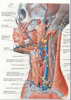 Lymph nodes are body organs (not glands) spread throughout your body. Their function is to filter out all the dead bacteria, viruses, and other dead tissue from the lymphatic fluid and eliminate it from the body. Lymphatic Massage, Shiatsu, Medical Anatomy, Lymph Nodes, Human Anatomy, Body Anatomy, Lymphatic System, Medical Science, Medical Information