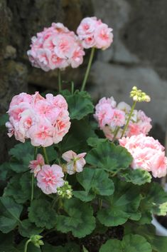 PERFECT PELARGONIUMS: July 2012