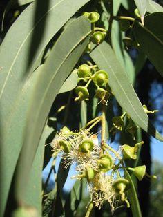 Aceite Esencial de Eucalipto-Eucaliptus Globulus Plants, Homemade, Aquarius Woman, Magic Herbs, Essential Oils, Sauces, Soaps, Woods, Green