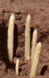 Asperges zelf kweken in de moestuin asperge steken planten oogsten bed aanleggen