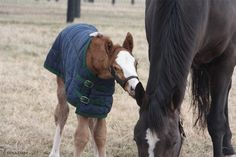 This cutie of a colt was the first to join the Siena Farm family in 2015! He's by To Honor and Serve and is the first foal for Queenofperfection, from the family of champion Speightstown.