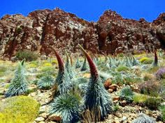 Indigenous flora Tajinaste blooms of the Spain Tenerife National Park in spring. They may reach a height of more than 8 foot or 2,50 meters.