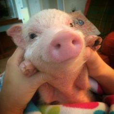 They've got infectiously cheerful dispositions. | 16 Reasons Pigs Make The Best Pets -not just a fad. Don't get a pig because it is trendy. Trendy is what gets animals abandoned and killed.