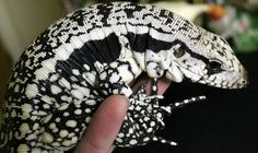 pretty blue tegu