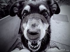 Photo about A close up view of a friendly dog, looking curiously at the camera. Image of camera, smile, canine - 140501926 Guinea Pigs, Dog Friends, Free Stock Photos, Close Up, Husky, Cute Animals, Puppies, Horses, Illustration