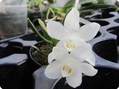 Amesiella minor - Orchideen der Schwerter Orchideenzucht