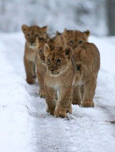 It's a snowy adventure for Longleat Safari and Adventure Park's eight Lion cubs. See them as they practice their crouching and pouncing skills, today on ZooBorns. Beautiful Cats, Animals Beautiful, Beautiful Pictures, I Love Cats, Big Cats, Baby Animals, Cute Animals, Wild Animals, Lion Love