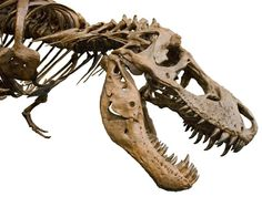 Can radiocarbon hookup be used to determine the age of dinosaur fossils explain