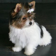 Biewer Yorkie Terrier