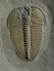 Bathyuriscus fimbriatus
