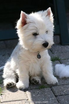 Adorable West Highland Terrier...and what looks to be stuffing from a toy - makes me smile