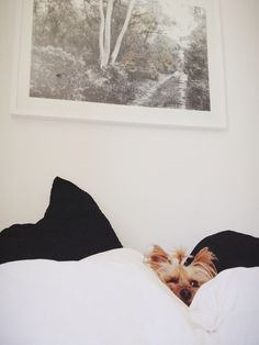 yorkies like to sleep in....