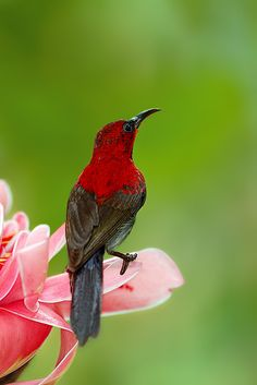 Crimson Sunbird by Inckurei