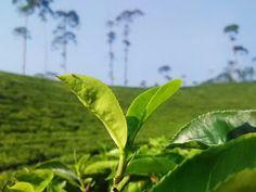 Cara Menghilangkan Komedo secara Alami dalam satu hari Plant Leaves, Diet, Plants, Plant, Banting, Diets, Planets, Per Diem, Food