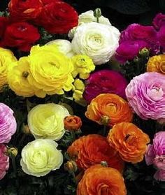 Ranunculus Hybrids Mix    I love the flower and its name. Note to self..... grow next year.