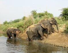 ‪#‎PictureOfTheDay‬! We caught our beautiful girls Bijli and Chanchal stepping out of the water after a long bath while Laxmi seems to be reluctant to climb out of the river at the Elephant Conservation and Care Center, Mathura!
