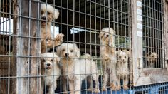 "Puppy mill .."" Product "" for profit"